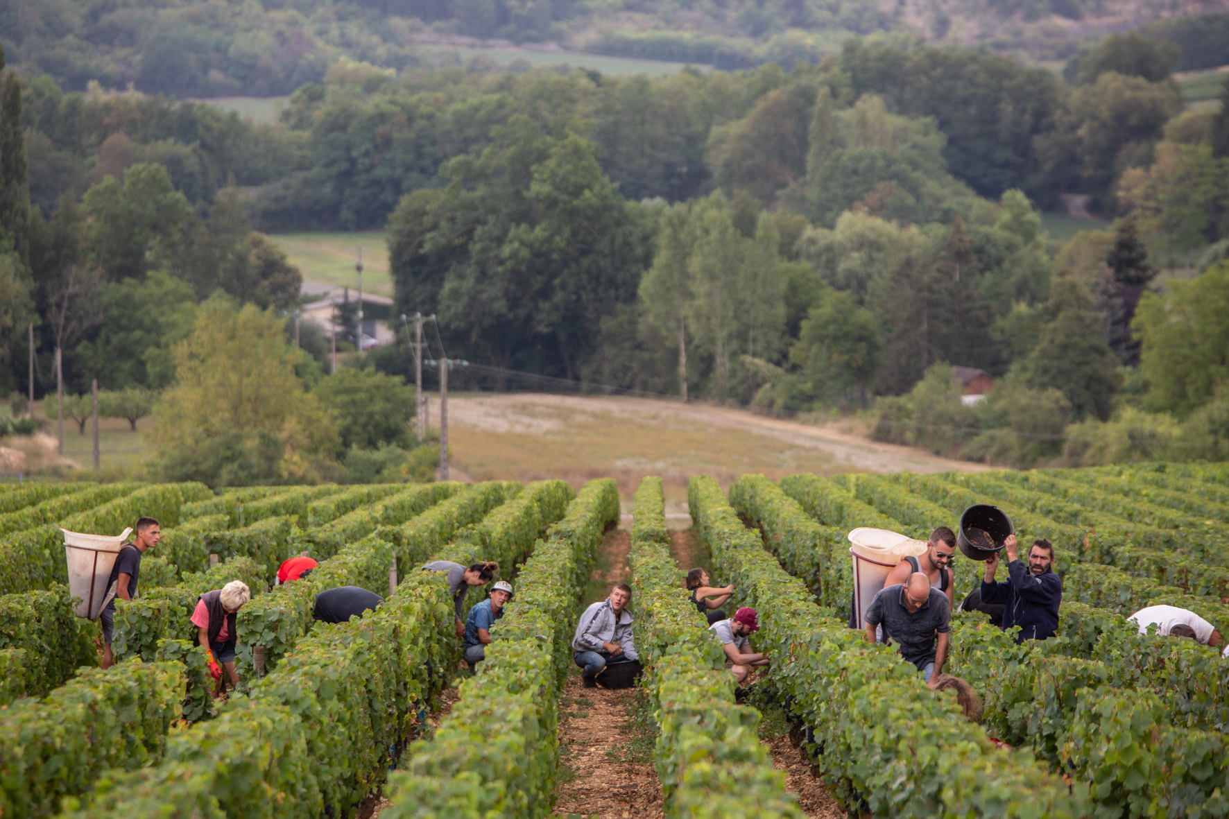 Récolte de vigne - Domaine Jeannot
