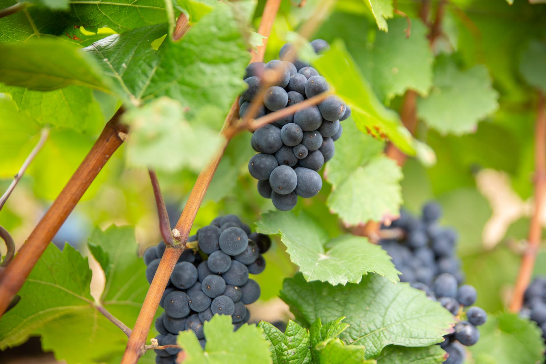 Plan de vigne - Domaine Jeannot
