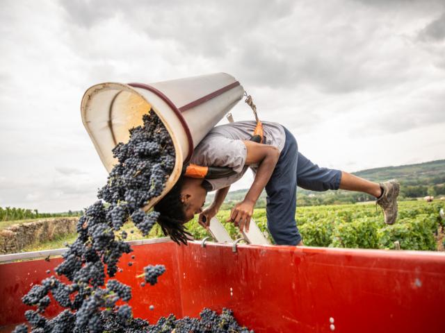 recolte et vendange à la main - Grand vin d'exception Domaine Jeannot