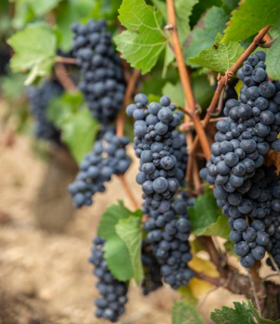 grappe raisins - Grand vin d'exception Domaine Jeannot