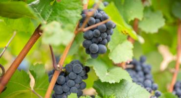 fruit et grappes de raisin - Grand vin d'exception Domaine Jeannot